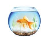 在一个圆的水族馆的金鱼,鱼滚保龄球 免版税库存图片