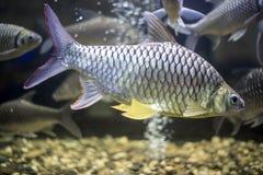 金鱼在淡水棕褐色的Cyprinidae小组 免版税库存图片