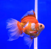 金鱼在清楚的水中 库存照片