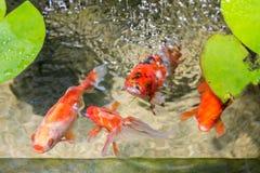 金鱼在自然池塘 库存照片