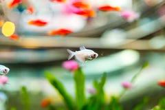 金鱼在水中 库存图片