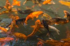 金鱼池塘 免版税库存图片