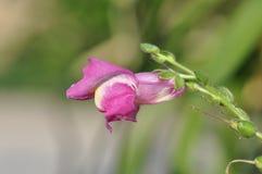 金鱼草属majus,在绽放的共同的snapdragon 库存图片