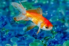 金鱼金鱼选拔一在水族馆关闭  免版税库存照片
