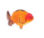 金鱼顶头狮子 免版税库存照片