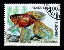 金鱼鲫属auratus bicaudatus、植物群和动物区系serie,大约1993年 库存照片