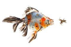 金鱼,一只小青蛙的大鱼狩猎,在白色背景 免版税库存图片