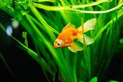 金鱼 免版税图库摄影