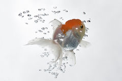12金鱼 免版税库存照片
