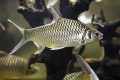 金鱼Cyprinidae小组 库存图片