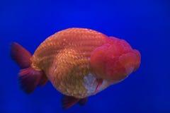金鱼oranda 库存图片