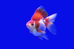 金鱼Ryukin在坦克的花梢颜色 图库摄影