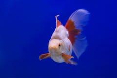 金鱼Ryukin 图库摄影