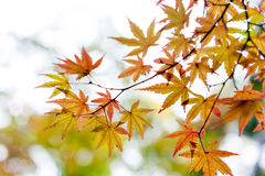 金鸡爪枫离开在秋天期间在京都,日本 图库摄影