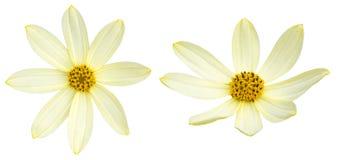 金鸡菊在白色背景中 库存照片