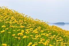 金鸡菊花由湖边开花 免版税库存照片