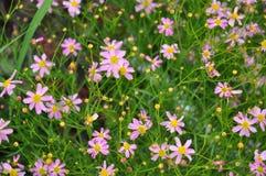 金鸡菊rosea,桃红色金鸡菊 免版税图库摄影