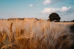 金麦子飞行与橡树和蓝天与白色云彩在日落光,农村乡下 库存图片
