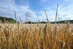 金麦子 免版税库存图片