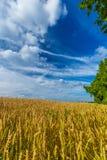 金麦田和剧烈的蓝天在7月,比利时 库存照片