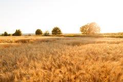 金麦田和日落天空 成熟谷物丰收时间 库存照片