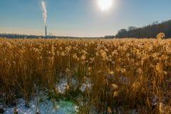 金黄与煤电植物的明亮的太阳/芦苇的美好的领域由后照的颜色水生草在背景中-在Minneso 免版税库存照片
