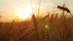 金黄五谷准备好生长在农田的收获 日域热夏天麦子 黄色麦子关闭的耳朵 富有的收获概念 股票视频