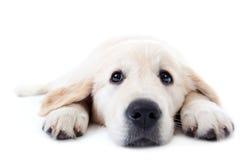 金黄位于的爪子猎犬被舒展的年轻人 图库摄影