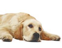 金黄位于的猎犬 库存照片