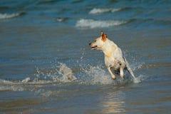 金黄使用的猎犬 库存图片