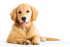 金黄停留他的小狗猎犬舌头 图库摄影