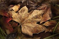 金黄冻结的叶子 图库摄影