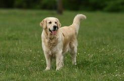 金黄华美的猎犬 免版税库存图片