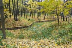 金黄发光的槭树在秋天 库存照片