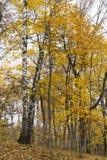 金黄发光的槭树在秋天 免版税库存图片