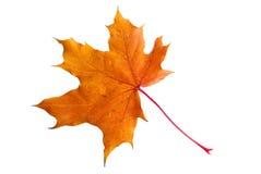金黄叶子槭树 免版税库存图片