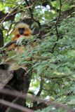 金黄叶猴 库存照片