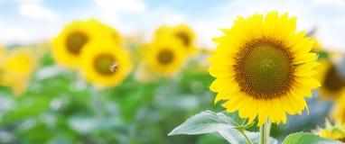 金黄向日葵领域夏天风景  免版税库存图片