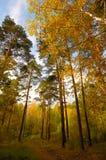 金黄夜间的森林 免版税图库摄影