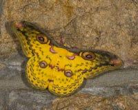 金黄天蚕蛾被看见在Cherrapunjee 免版税图库摄影