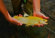 金黄好的鳟鱼 库存图片