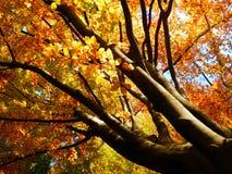金黄山毛榉树美好的秋季摄影  免版税库存图片