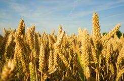 金黄成熟峰值麦子 库存图片