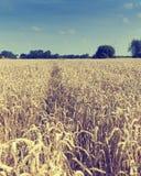 金黄成熟麦子的域 免版税库存照片