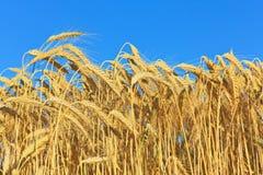 金黄成熟麦子 库存图片