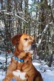 金黄拉布拉多混合猎犬 免版税图库摄影