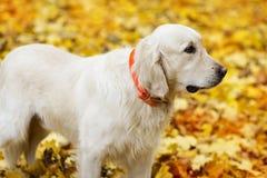 金黄拉布拉多猎犬在秋天 免版税库存图片