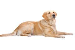金黄拉布拉多猎犬 库存照片