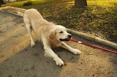 金黄拉的猎犬绳索 库存图片