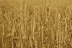金黄收获准备好的成熟麦子 库存照片